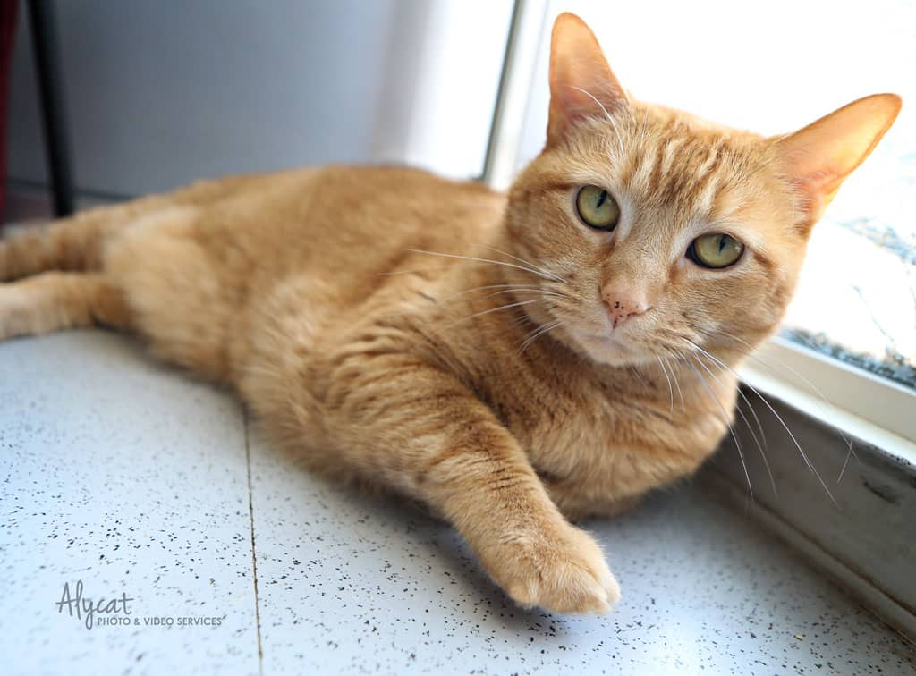Adopt Ginger the cat today!