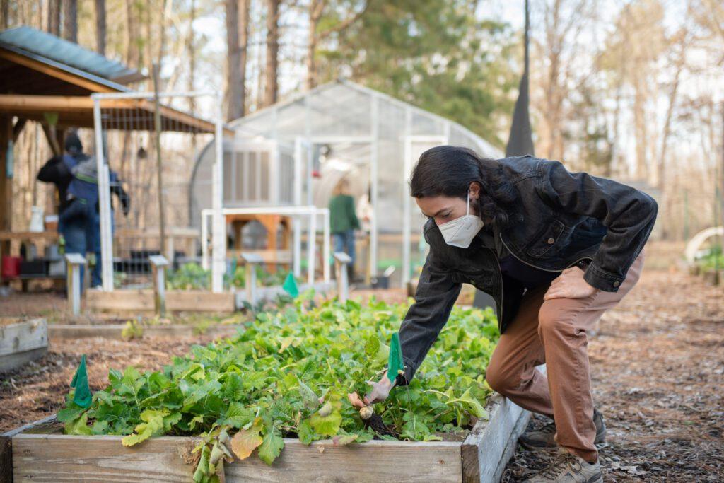 Gaebryl Vives picks a white egg turnip in the Briggs Avenue Community Garden.